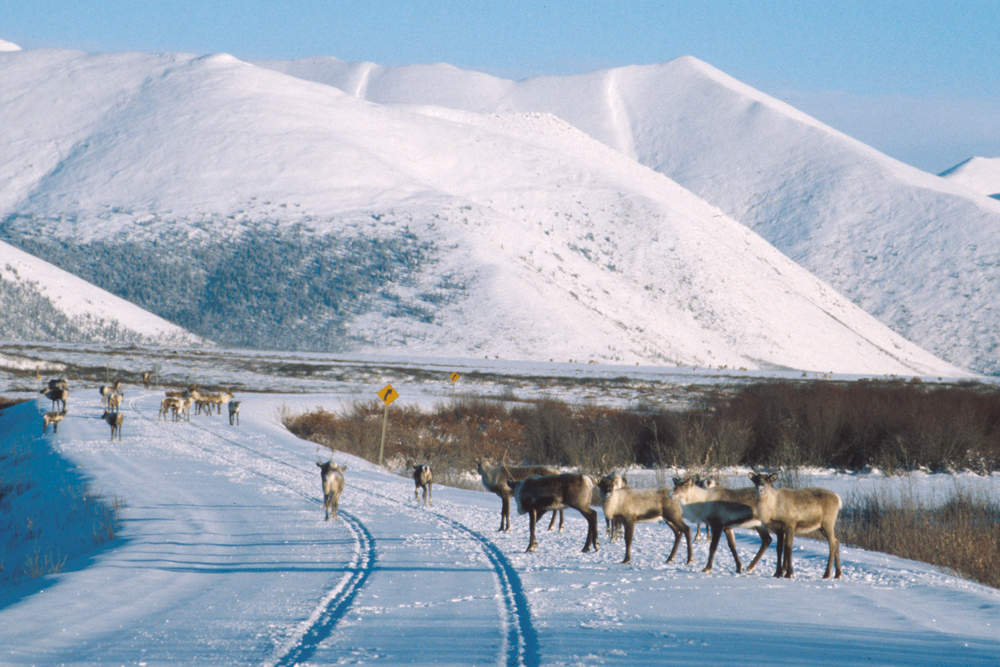 caribou on winter road