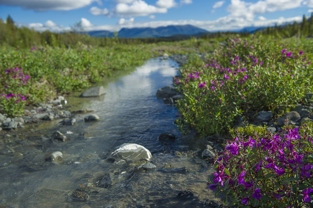 creek with Fireweed